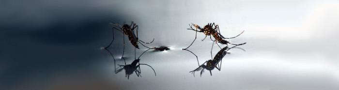 Catambra - pianta anti zanzare